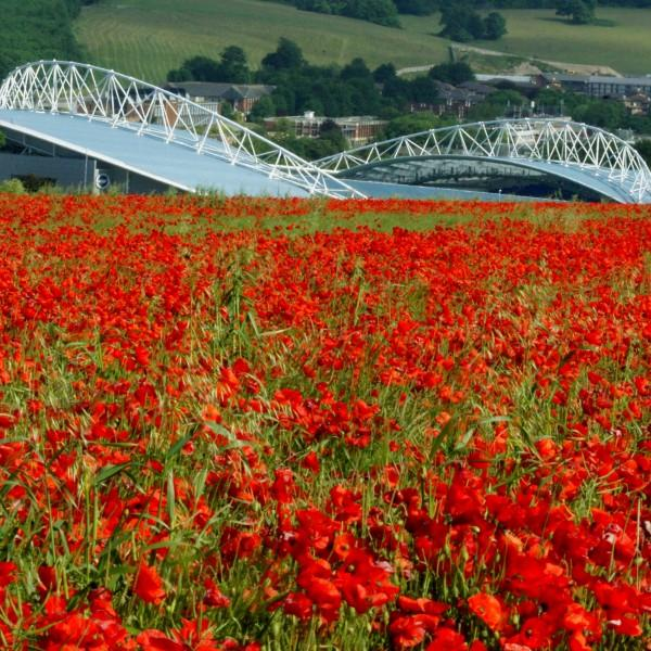 Poppies at the Amex Stadium